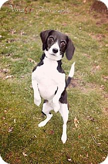 Beagle/Border Collie Mix Dog for adoption in Schererville, Indiana - Dakota