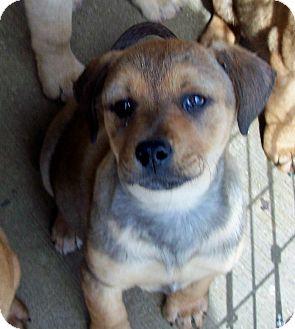 Shepherd (Unknown Type)/Hound (Unknown Type) Mix Puppy for adoption in Glastonbury, Connecticut - CUPCAKE