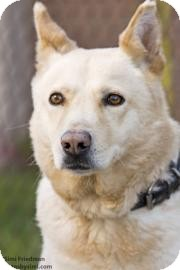 Husky Mix Dog for adoption in Brooklyn, New York - Shy