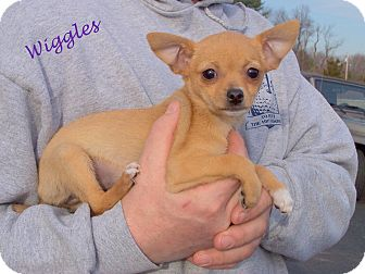 Chihuahua Mix Puppy for adoption in Milford, New Jersey - Wiggles