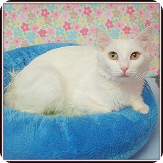 Domestic Mediumhair Cat for adoption in Glendale, Arizona - Sugar