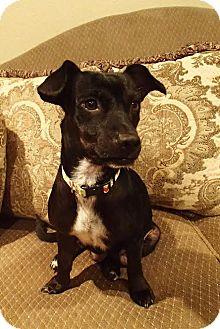 Labrador Retriever/Jack Russell Terrier Mix Dog for adoption in La Habra Heights, California - Ebbie