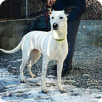 Greyhound/Dalmatian Mix Dog for adoption in Irwin, Pennsylvania - Lyla