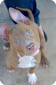 Pit Bull Terrier/American Pit Bull Terrier Mix Puppy for adoption in College Station, Texas - Sumer