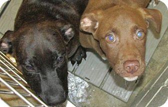 Labrador Retriever Mix Puppy for adoption in Aiken, South Carolina - HERSHEY