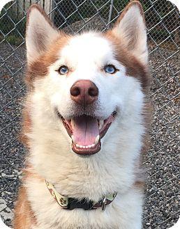 Husky Dog for adoption in Hagerstown, Maryland - Alpine