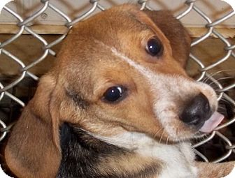 Beagle Puppy for adoption in Greenville, Kentucky - Chasity