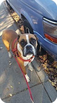 Boxer Dog for adoption in Boise, Idaho - CHEVY