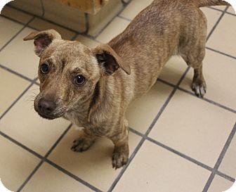 Chihuahua/Dachshund Mix Dog for adoption in Lumberton, North Carolina - Grace