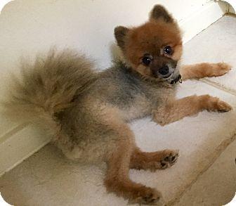 Pomeranian Mix Dog for adoption in Phoenix, Arizona - Soprano