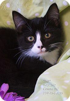 Domestic Shorthair Kitten for adoption in Newnan City, Georgia - MJ