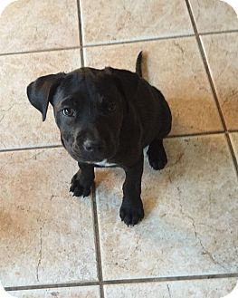Labrador Retriever Mix Puppy for adoption in Mesa, Arizona - CROW 10 WK LAB FEMALE