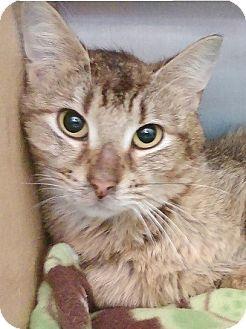 Domestic Shorthair Kitten for adoption in Hillside, Illinois - Christian-8 MONTHS