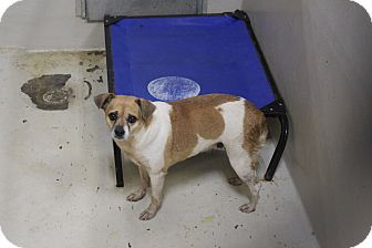 Chihuahua Mix Dog for adoption in Odessa, Texas - A30 LAYLA