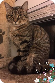 Domestic Shorthair Cat for adoption in Middletown, Ohio - Lexi