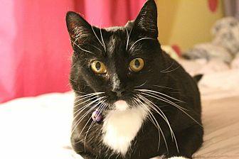 Domestic Shorthair Cat for adoption in Santa Ana, California - Braelyn