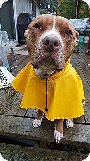 Pit Bull Terrier Mix Dog for adoption in Laingsburg, Michigan - Bridgette