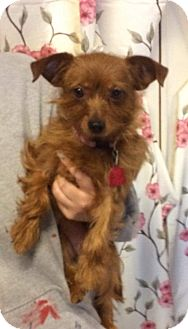 Chihuahua/Yorkie, Yorkshire Terrier Mix Dog for adoption in Kansas city, Missouri - Ruby