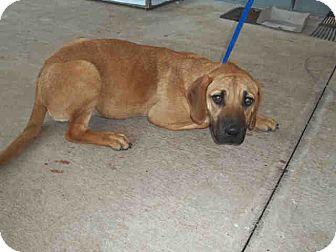 Rhodesian Ridgeback Mix Puppy for adoption in Newnan City, Georgia - Brady