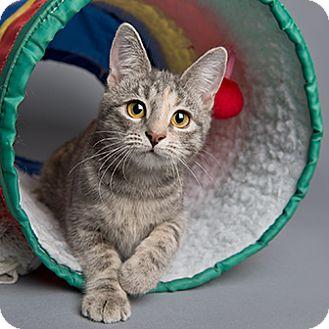 Domestic Shorthair Kitten for adoption in Wilmington, Delaware - Princess Peach