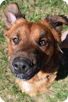 German Shepherd Dog Mix Dog for adoption in Richand, New York - Bear
