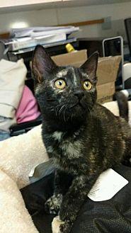 Domestic Shorthair Cat for adoption in Rincon, Georgia - Cannoli