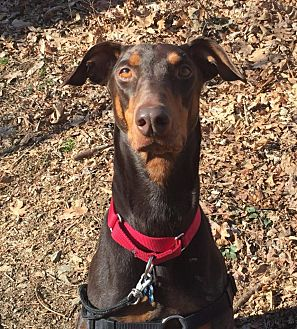 Doberman Pinscher Mix Dog for adoption in Washington, D.C. - Kobi - Needs Sponsorship