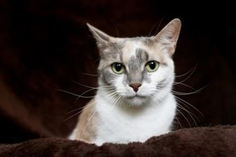 Domestic Shorthair/Domestic Shorthair Mix Cat for adoption in Pomona, New York - Marilyn