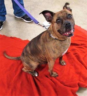 Boxer Mix Dog for adoption in Twinsburg, Ohio - Sami