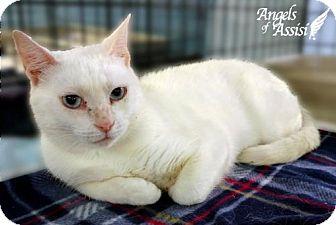 Domestic Mediumhair Cat for adoption in Roanoke, Virginia - Vera