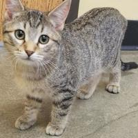 Domestic Shorthair/Domestic Shorthair Mix Cat for adoption in Larned, Kansas - Angie