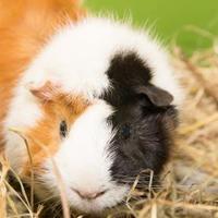 Adopt A Pet :: Gremlin - Lowell, MA