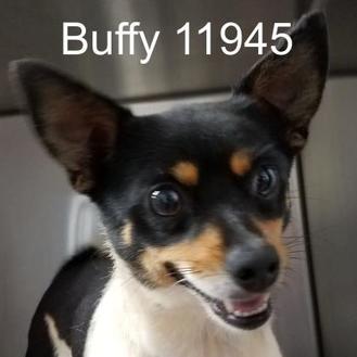 Chihuahua Mix Dog for adoption in Manassas, Virginia - Buffy