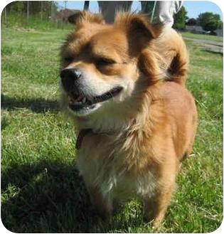 Pomeranian/Chihuahua Mix Dog for adoption in Logan, Ohio - Jojo