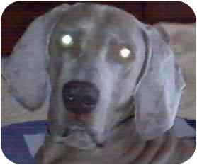 Weimaraner Dog for adoption in Eustis, Florida - Dmitri  **ADOPTED**