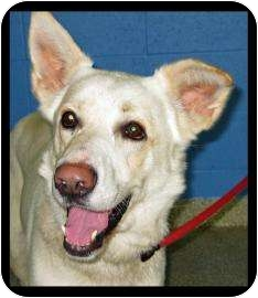 Shepherd (Unknown Type) Mix Dog for adoption in Munster, Indiana - Roamer