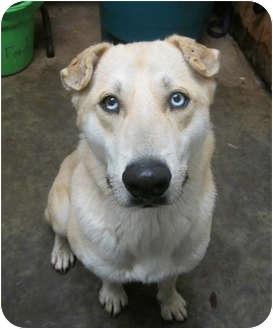 Husky/Labrador Retriever Mix Dog for adoption in Westport, Connecticut - *Frank - PENDING