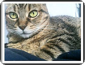Domestic Mediumhair Cat for adoption in Duart, Ontario - Ciba