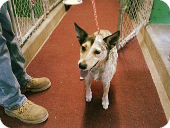 Blue Heeler Mix Dog for adoption in BLACKWELL, Oklahoma - Jax
