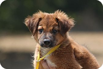 Shepherd (Unknown Type) Mix Puppy for adoption in McKinney, Texas - Cheddar