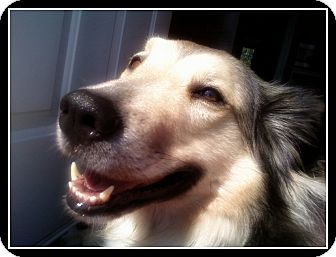 Collie/Husky Mix Dog for adoption in Montreal, Quebec - Angel