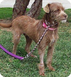 Cairn Terrier Mix Dog for adoption in Orange, California - Oakley