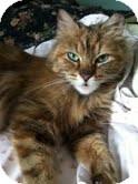 Domestic Longhair Cat for adoption in Chicago, Illinois - Rosario