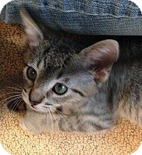 Domestic Shorthair Kitten for adoption in Tampa, Florida - Spanky