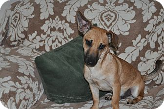 Parson Russell Terrier/Dachshund Mix Puppy for adoption in Tumwater, Washington - Brody