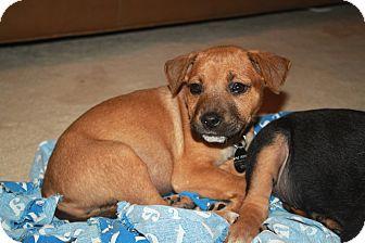 Labrador Retriever/Shepherd (Unknown Type) Mix Puppy for adoption in Marietta, Georgia - Sassy