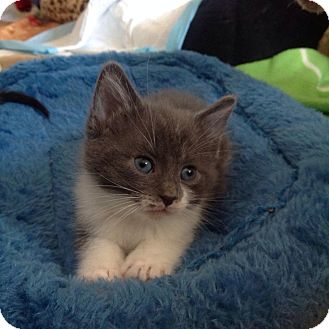 Domestic Mediumhair Kitten for adoption in Chicago, Illinois - Clyde