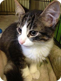 Domestic Mediumhair Kitten for adoption in Byron Center, Michigan - Seuss