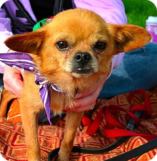 Chihuahua Mix Dog for adoption in Kalamazoo, Michigan - Tiny