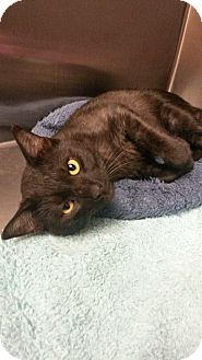 Domestic Shorthair Cat for adoption in Flower Mound, Texas - Slate
